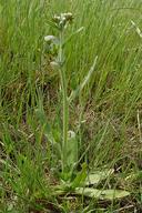 Plagiobothrys fulvus
