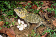 "Female beside her newly laid eggs.<br /><strong>Location:</strong> Barrington Tops (New South Wales, Australia)<br /><strong>Author:</strong> <a href=""http://calphotos.berkeley.edu/cgi/photographer_query?where-name_full=Geordie+Torr&one=T"">Geordie Torr</a>"