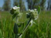 Plagiobothrys canescens