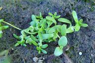 Callitriche marginata