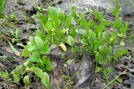 Ranunculus bonariensis var. trisepalus
