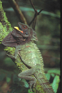 """Adult male<br /><strong>Location:</strong> Lakekamu (Papua New Guinea)<br /><strong>Author:</strong> <a href=""""http://calphotos.berkeley.edu/cgi/photographer_query?where-name_full=Geordie+Torr&one=T"""">Geordie Torr</a>"""
