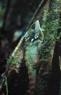 """<strong>Location:</strong> Mossman Gorge (Queensland, Australia)<br /><strong>Author:</strong> <a href=""""http://calphotos.berkeley.edu/cgi/photographer_query?where-name_full=Geordie+Torr&one=T"""">Geordie Torr</a>"""