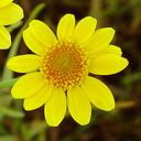 Lasthenia glabrata ssp. glabrata