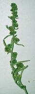 Ambrosia dumosa var. hybrid