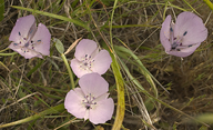 Calochortus uniflorus