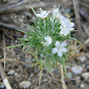 Navarretia intertexta ssp. intertexta