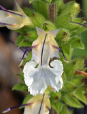 Salvia sonomensis