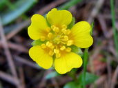 Potentilla hickmanii
