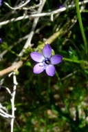 Gilia minor