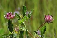 Trifolium hydrophilum