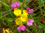 Seaside Bird's-foot Trefoil