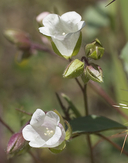 Emmenanthe penduliflora var. rosea
