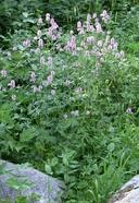 Sidalcea oregana ssp. hydrophila