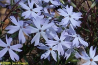 Phlox bifida ssp. stellaria