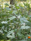 Tall Ragweed