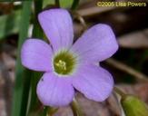 Oxalis violacea
