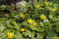 Ranunculus ficaria ssp. bulbilifer