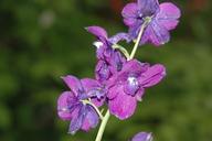 Delphinium hutchinsoniae