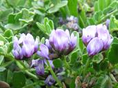 Astragalus tener var. titi