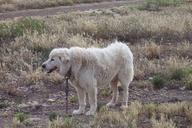 Canis familiaris
