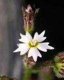 Aliciella triodon