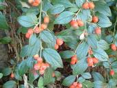 Cotoneaster franchetii