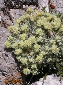 Eriogonum shockleyi var. shockleyi