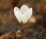 Sabulina californica