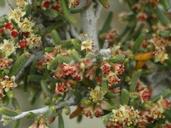 Cercocarpus ledifolius var. intricatus