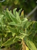 Salvia mohavensis