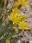 Crepis occidentalis ssp. costata