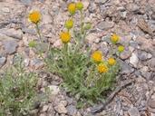 Machaeranthera grindelioides var. depressa