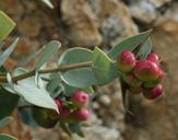 Arctostaphylos luciana