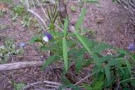 Vicia bithynica