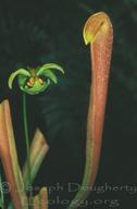 Sarracenia sp.