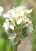 Plantago erecta