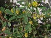 Melilotus indicus