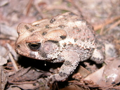 Southwestern Woodhouse's Toad