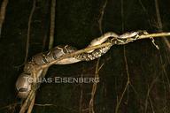 "<strong>Location:</strong> Parque Nacional Corcovado, Costa Rica<br /><strong>Author:</strong> <a href=""http://calphotos.berkeley.edu/cgi/photographer_query?where-name_full=Tobias+Eisenberg&one=T"">Tobias Eisenberg</a>"