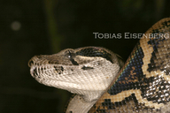 Boa constrictor | The Reptile Database