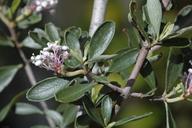 Ceanothus fresnensis