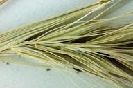 Elymus elymoides var. hordeoides