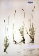 Carex davyi
