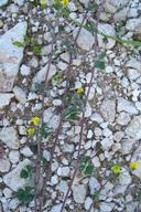 Medicago lupulina ssp. cupaniana