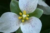 Pseudotrillium rivale