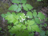 Osmorhiza chilensis