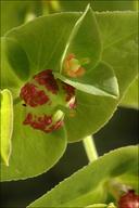 Euphorbia dulcis