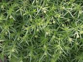 Galium andrewsii
