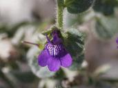 Antirrhinum nuttallianum ssp. subsessile